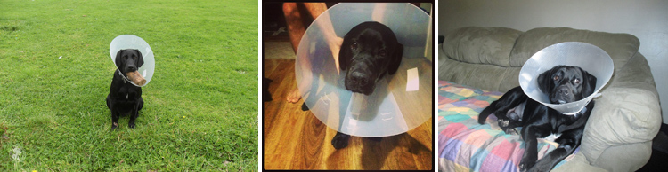 Cone of Shame Labrador Retrievers Cone heads (6)