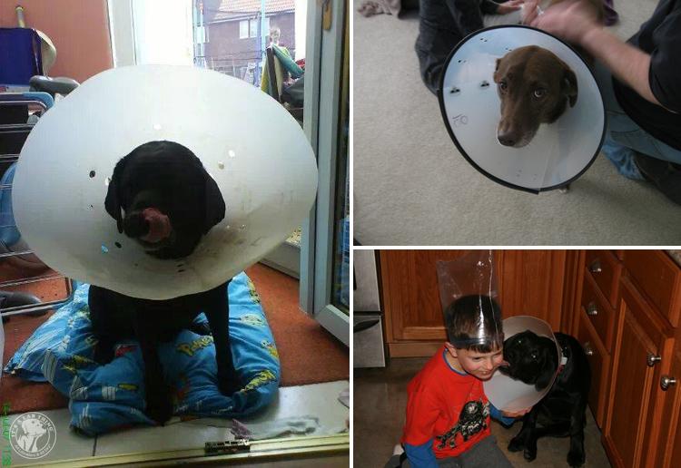 Cone of Shame Labrador Retrievers Cone heads (7)