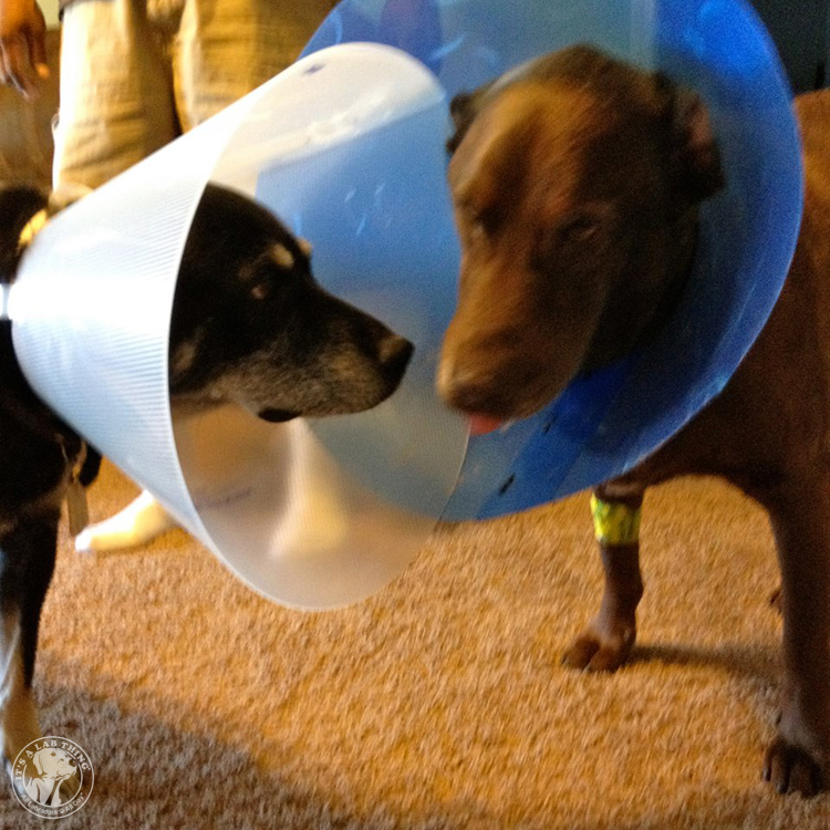 Cone of Shame Labrador Retrievers Cone heads (8)