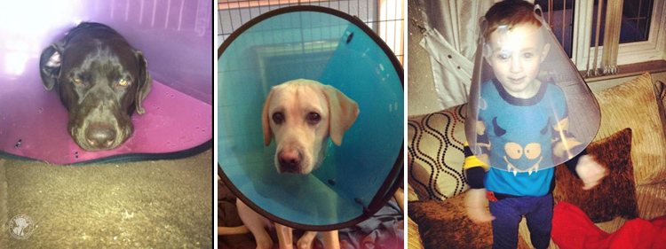 Cone of Shame Labrador Retrievers Cone heads (9)