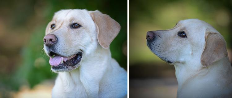 Dog Photography classes Andy Biggar It's a Lab Thing FotoCoach Atlanta Labradors (4)