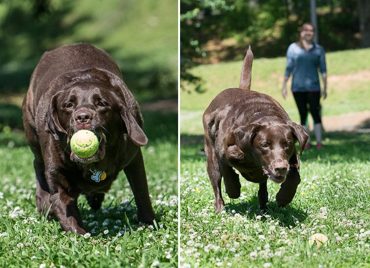 Dog Photography classes Andy Biggar It's a Lab Thing FotoCoach Atlanta Labradors (8)