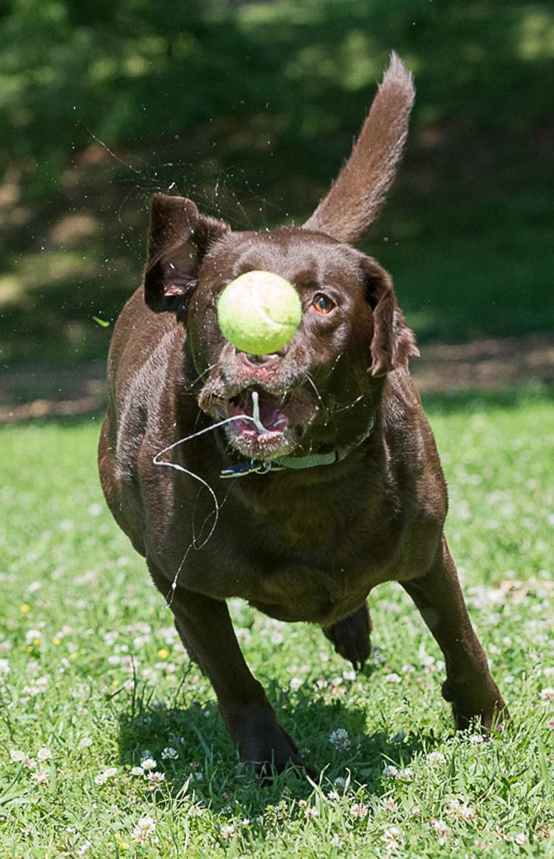 Dog Photography classes Andy Biggar It's a Lab Thing FotoCoach Atlanta Labradors (9)