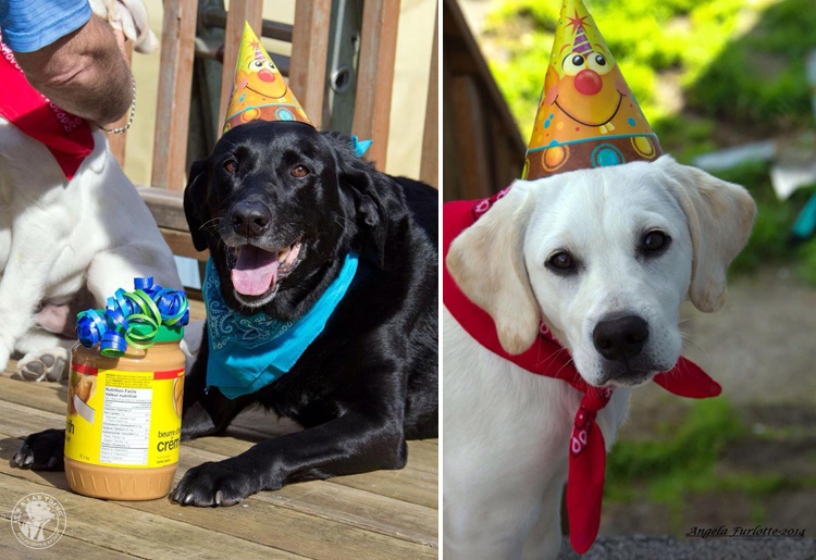 Labrador Dog Birthdays Hat celebrations (10)