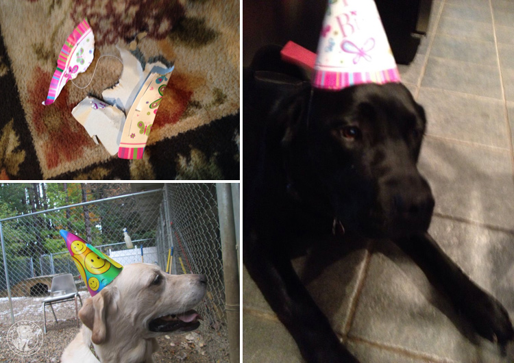 Labrador Dog Birthdays Hat celebrations (11)