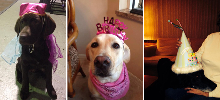 Labrador Dog Birthdays Hat celebrations (12)