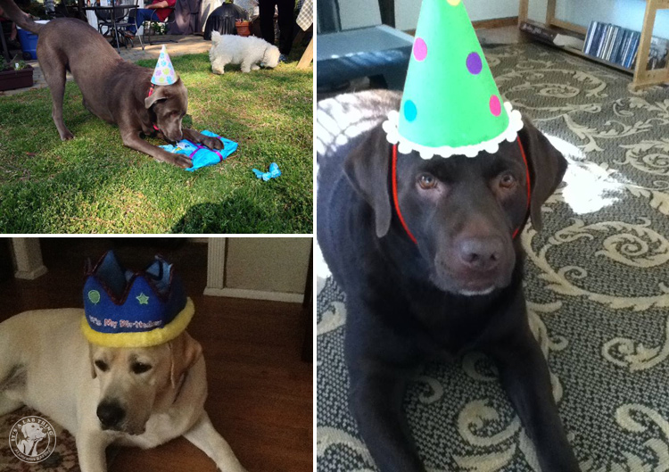 Labrador Dog Birthdays Hat celebrations (13)