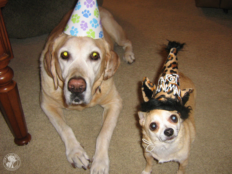 Labrador Dog Birthdays Hat celebrations (14)