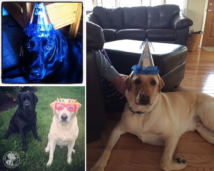 Labrador Dog Birthdays Hat celebrations (17)