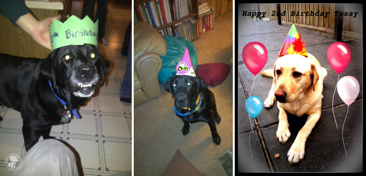 Labrador Dog Birthdays Hat celebrations (19)