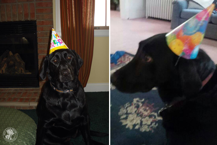 Labrador Dog Birthdays Hat celebrations (2)