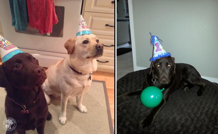 Labrador Dog Birthdays Hat celebrations (22)
