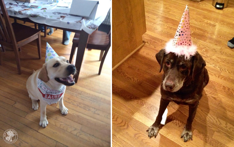 Labrador Dog Birthdays Hat celebrations (3)