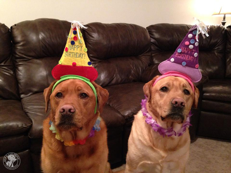 Labrador Dog Birthdays Hat celebrations (6)