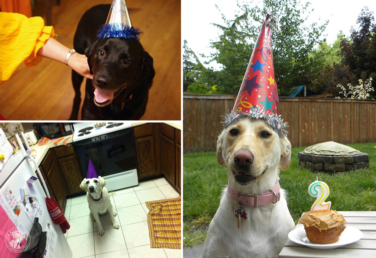Labrador Dog Birthdays Hat celebrations (8)