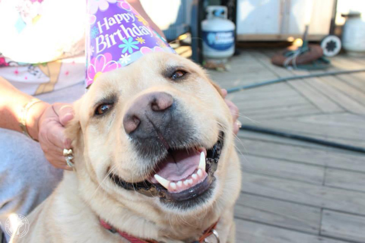 Labrador Dog Birthdays Hat celebrations (9)