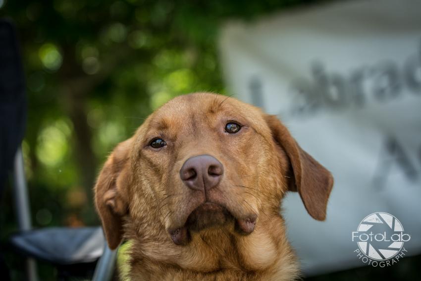 Labrador Friends of the South Adoption Day 6-14-150