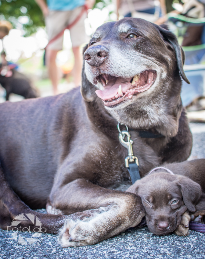 Labrador Friends of the South Adoption Day 6-14-63
