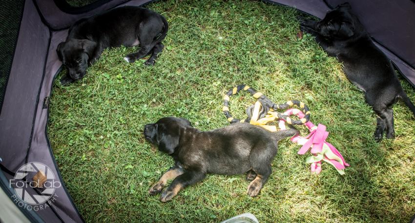 Labrador Friends of the South Adoption Day 6-14-86