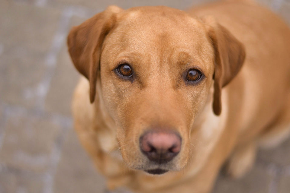 absolutely-cute-labrador-pictures-chelsea-tyrer-012