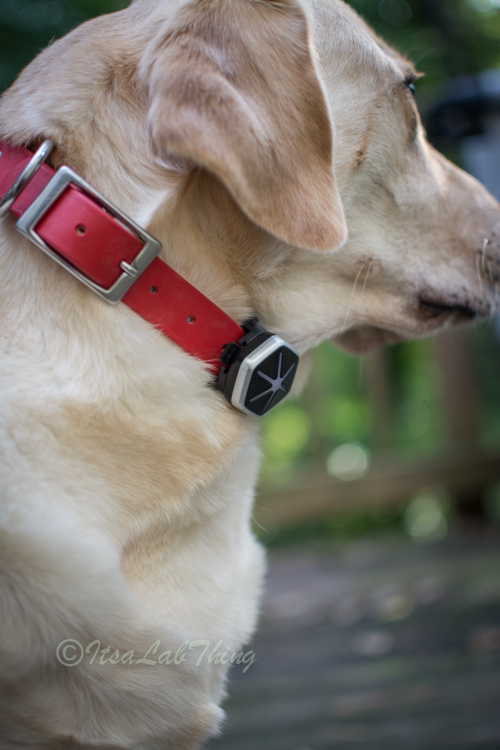 Starwalk Dog Activity  Tracker It's a Lab Thing Review-3