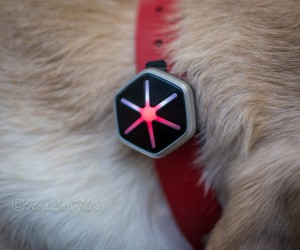 Getting Your Labrador Fit with StarWalk Activity Tracker