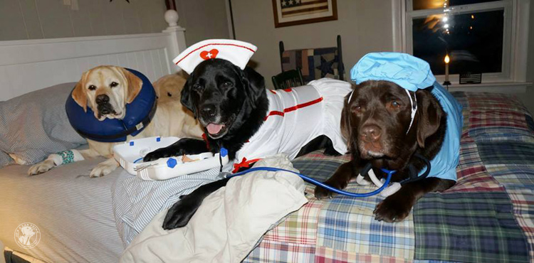 absolutely cute halloween labradors in costumes 001 - Halloween Costumes For Labradors