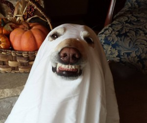 Happy Halloween Cute Labradors in Costumes