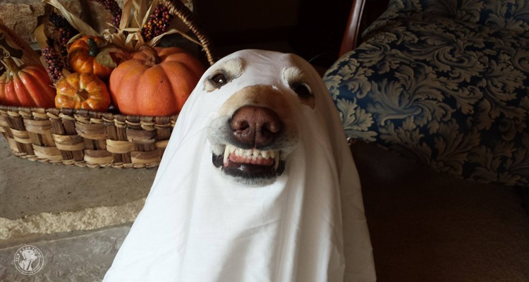 absolutely-cute-halloween-labradors-in-costumes-007