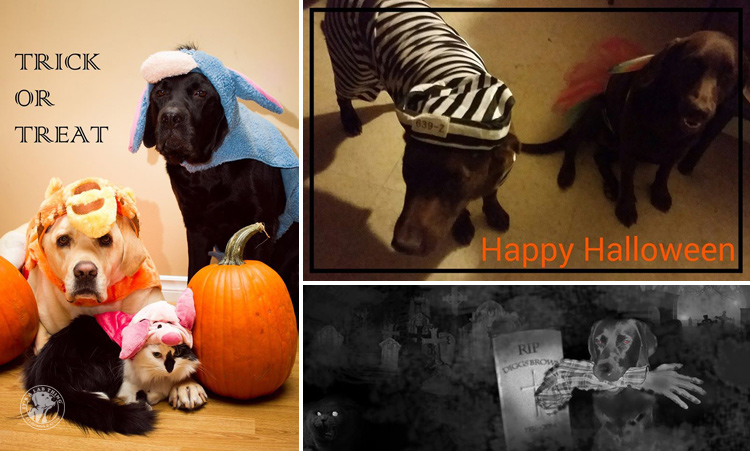 absolutely-cute-halloween-labradors-in-costumes-008
