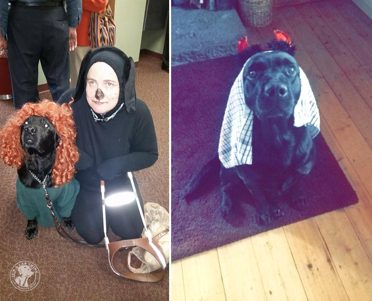absolutely-cute-halloween-labradors-in-costumes-015