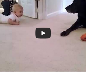Video Baby's First Crawl Gets Labrador's Ultimate Gift