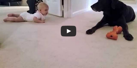Babys_first_crawl_to_her_labrador_gets_a_kiss