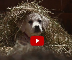 "Budweiser's Labrador Puppy Super Bowl Commercial ""Lost Dog"" Nails It Again!"