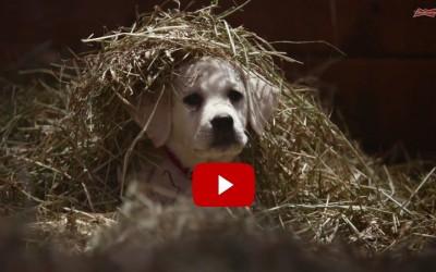 Budweiser_Labrador_Super_Bowl_Ad_Lost_Dog_2015_Cute_Video