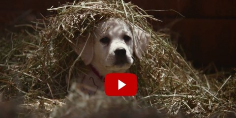 Budweiser_Labrador_Super_Bowl_Ad_Lost_Dog_2015_Cute_Video