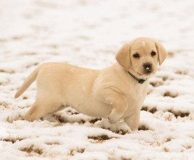 001-Winter_Play_Snow_blizzard_labrador_retrievers_