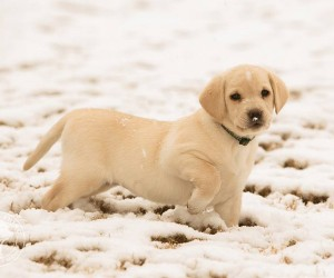The Winter Snow Blizzard Labradors