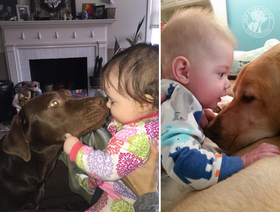 baby kisses labraodrs