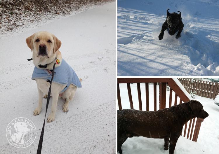 002-Winter_Play_Snow_blizzard_labrador_retrievers_