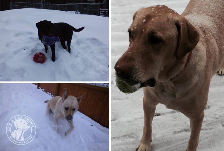 003-Winter_Play_Snow_blizzard_labrador_retrievers_
