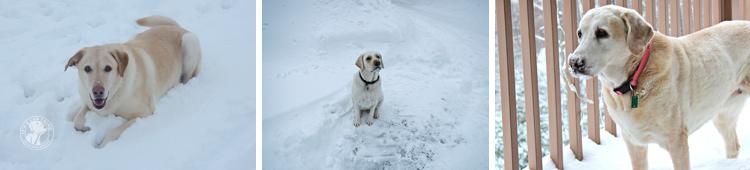 005-Winter_Play_Snow_blizzard_labrador_retrievers_