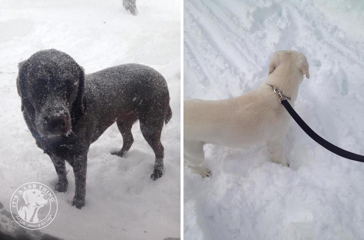 008-Winter_Play_Snow_blizzard_labrador_retrievers_