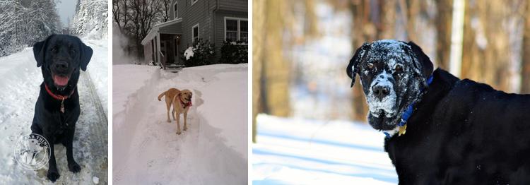 010-Winter_Play_Snow_blizzard_labrador_retrievers_