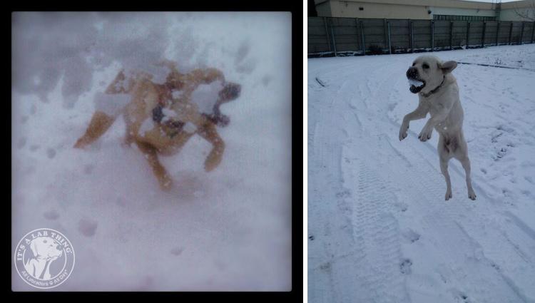 013-Winter_Play_Snow_blizzard_labrador_retrievers_