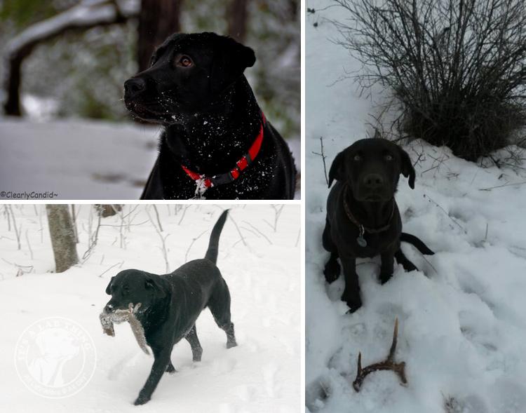 014-Winter_Play_Snow_blizzard_labrador_retrievers_