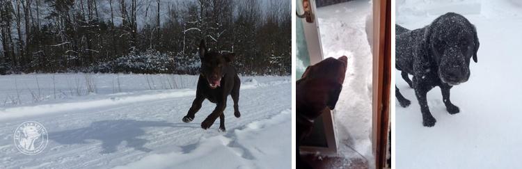 015-Winter_Play_Snow_blizzard_labrador_retrievers_