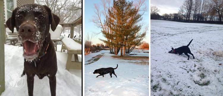 016-Winter_Play_Snow_blizzard_labrador_retrievers_