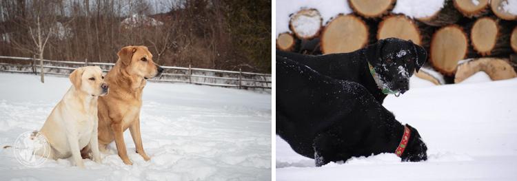 017-Winter_Play_Snow_blizzard_labrador_retrievers_