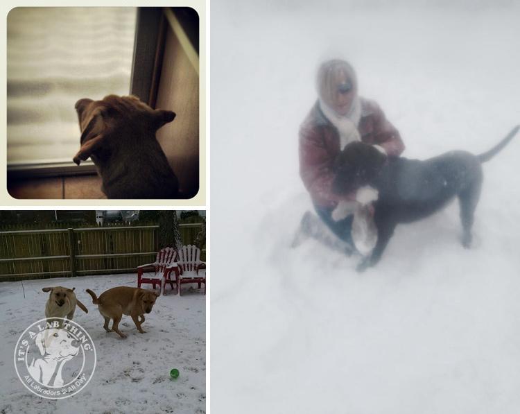 018-Winter_Play_Snow_blizzard_labrador_retrievers_